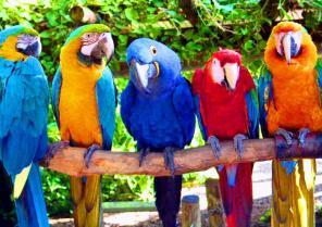 Обучение попугаев людской речи