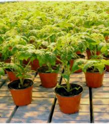 Рассада кустов помидор для реализации